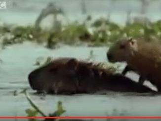 Capybara Wasserschweine