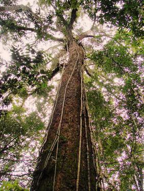 Tropenbaum