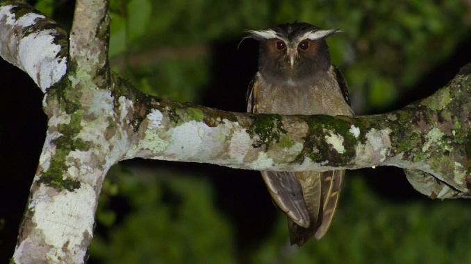 Crested Owl Haubeneule